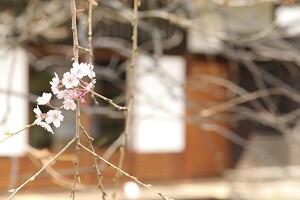Sakuraminka