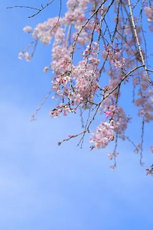 Sakurasora