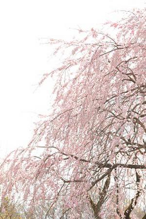 Sakurazenkei